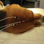 Utilisation des chiens du CEDS